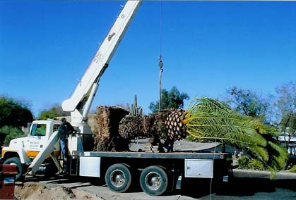 A 17 Ton Boom Truck Enables Us To Transplant Palm Trees